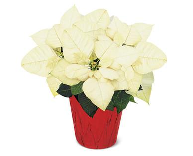 6 Inch Poinsettia White