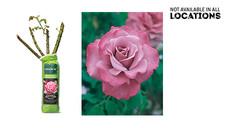 Gardenline Jumbo #1 Rose Bush