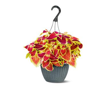"""10"""" Coleus Hanging Basket"""