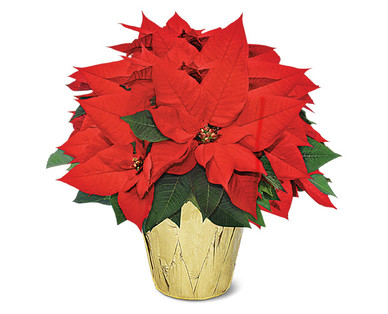 6 Inch Poinsettia Red