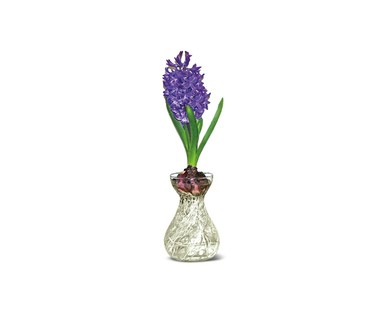 Hyacinth in Glass Vase View 2