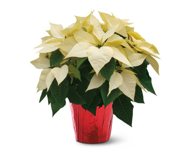 Six Inch Poinsettia White
