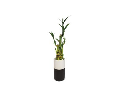"""4"""" Lucky Bamboo View 1"""