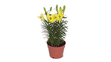 """7"""" Asiatic Lily"""