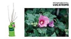 Gardenline Flowering Shrub