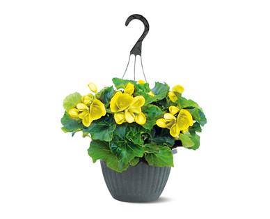 """10"""" Yellow Begonia Hanging Basket"""