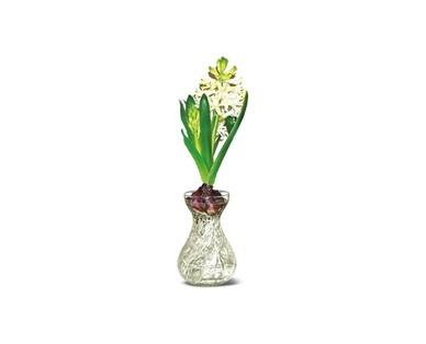 Hyacinth in Glass Vase View 3