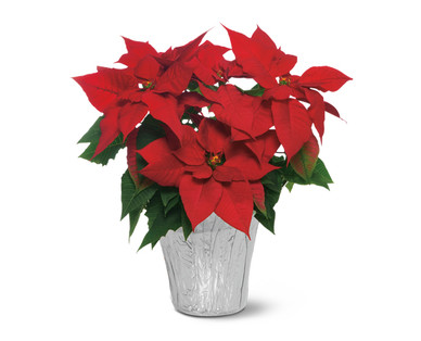 Six Inch Poinsettia Red