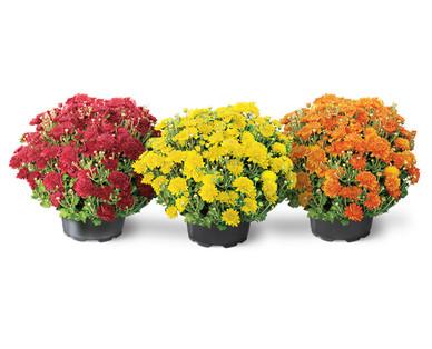 "8"" Garden Mums Assorted Colors"