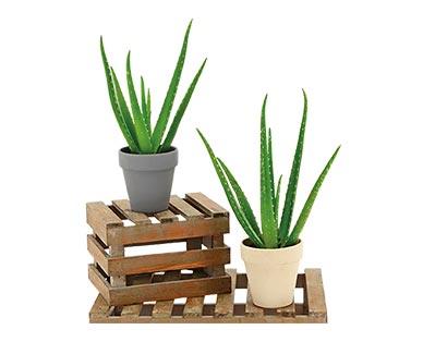 Aloe Vera Plant In Use