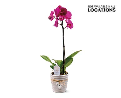 """5"""" Easy Orchid Assorted Colors View 1"""