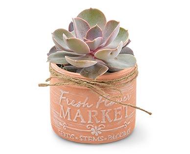 Mason Jar Succulent Assorted Varieties View 1