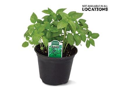 "6"" Vegetable or Herb Assortment Basil"