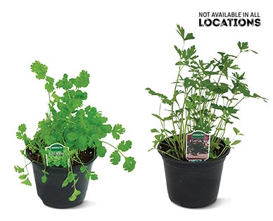 """6"""" Vegetable or Herb Assortment Cilantro or Parsley"""