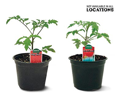 """6"""" Vegetable or Herb Assortment Big Boy Tomato or Better Boy Tomato"""