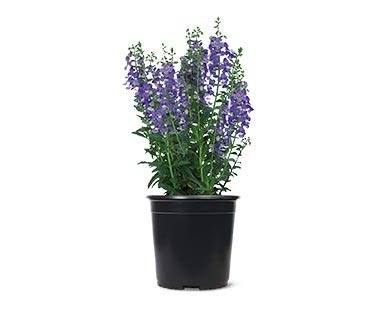 Spring Perennial Assorted Varieties Salvia
