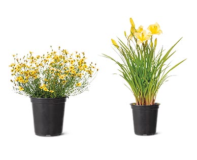Spring Perennial Assorted Varieties Coreopsis or Day Lily