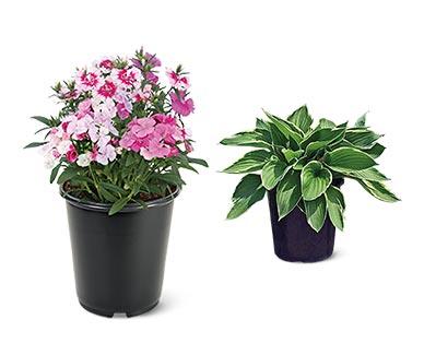 Spring Perennial Assorted Varieties Dianthus or Hosta
