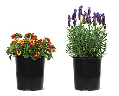 Spring Perennial Assorted Varieties Lantana or Lavender