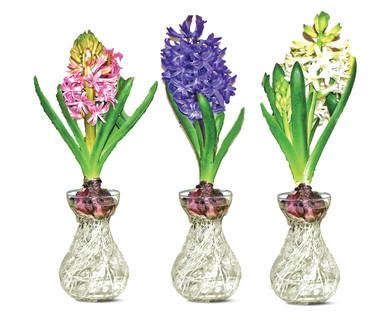 aldi us hyacinth in glass vase. Black Bedroom Furniture Sets. Home Design Ideas